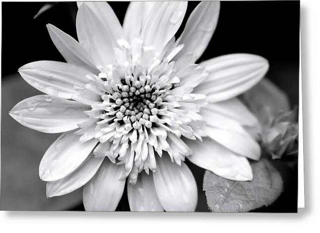 Greeting Card featuring the photograph Coreopsis Flower Black And White by Christina Rollo