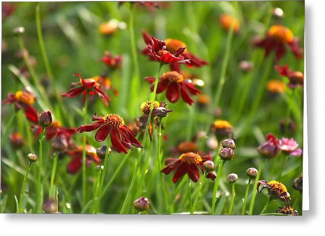 Coreopsis Garden Greeting Card