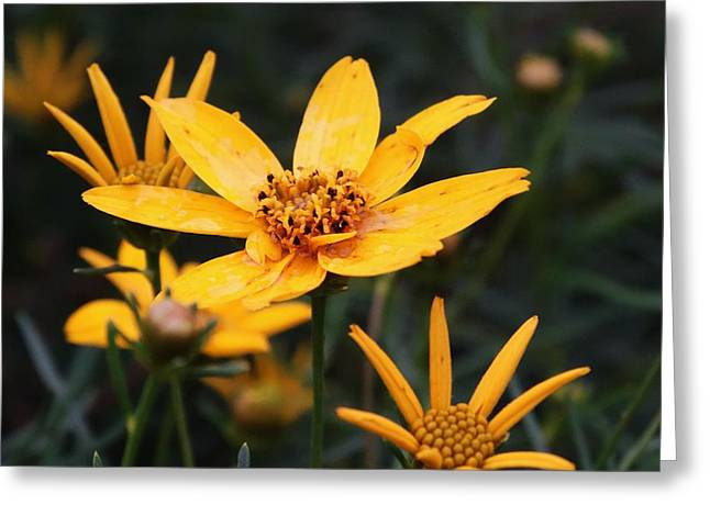 Coreopsis Moonbeam  Greeting Card by J L Zarek