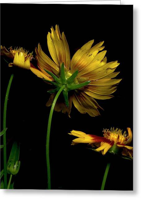Coreopsis Tickseed Greeting Card by Richard Rizzo