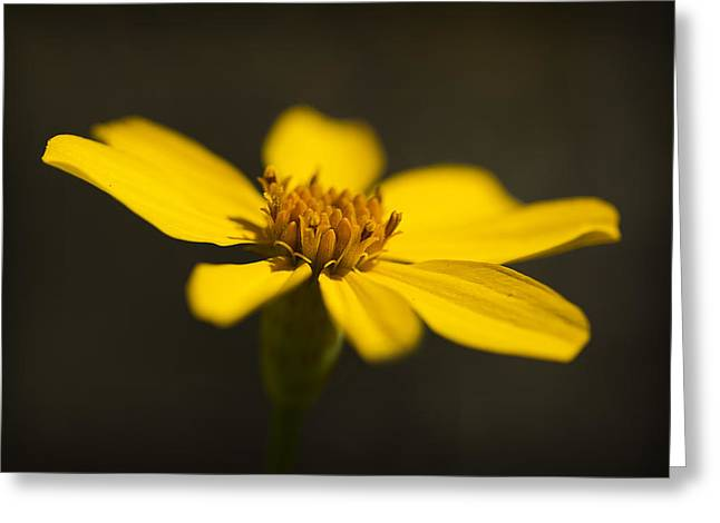 Coreopsis Verticillata Greeting Card
