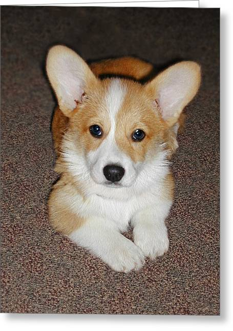 Corgi Puppy Lying Down Greeting Card by Laurie With