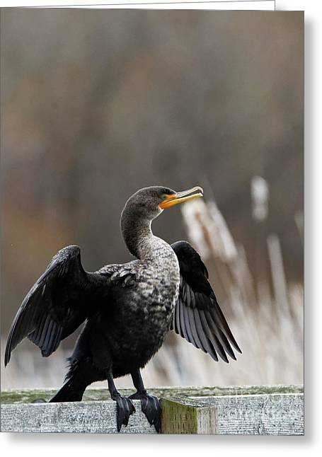Cormorant Drying Its Wings Greeting Card by Sue Harper