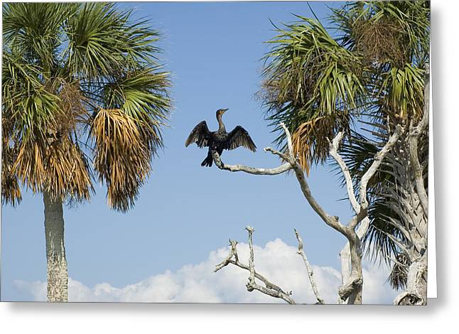 Cormorant Drying Greeting Card by Stacey Lynn Payne