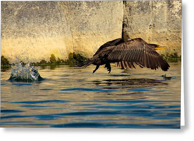 Cormorant In Motion Greeting Card by Amy Sorvillo