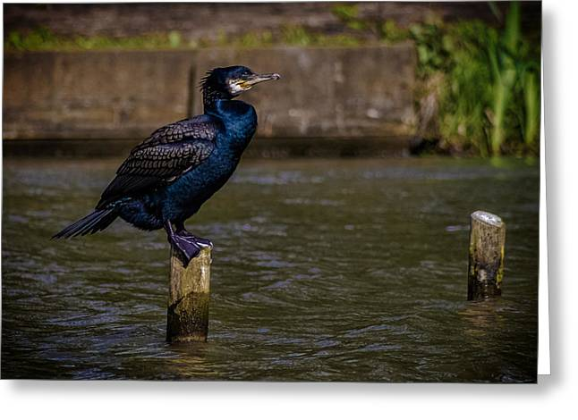 Cormorant Greeting Card by Martin Newman