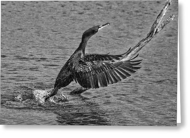 Cormorant Rising Greeting Card by Mitch Spence