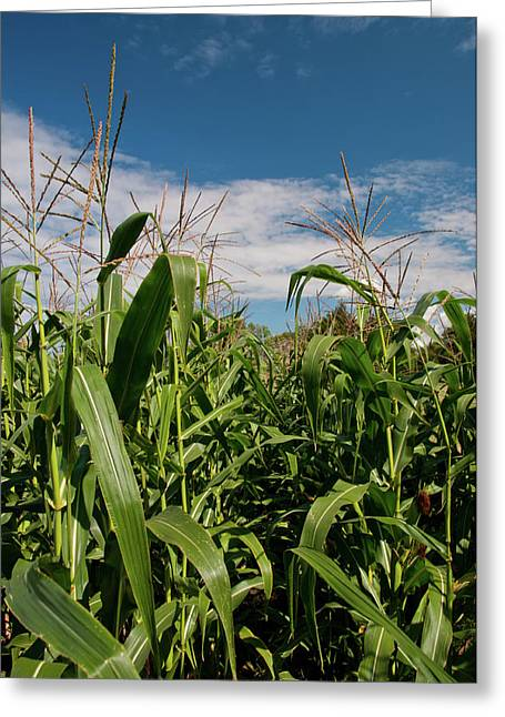 Greeting Card featuring the photograph Corn 2287 by Guy Whiteley