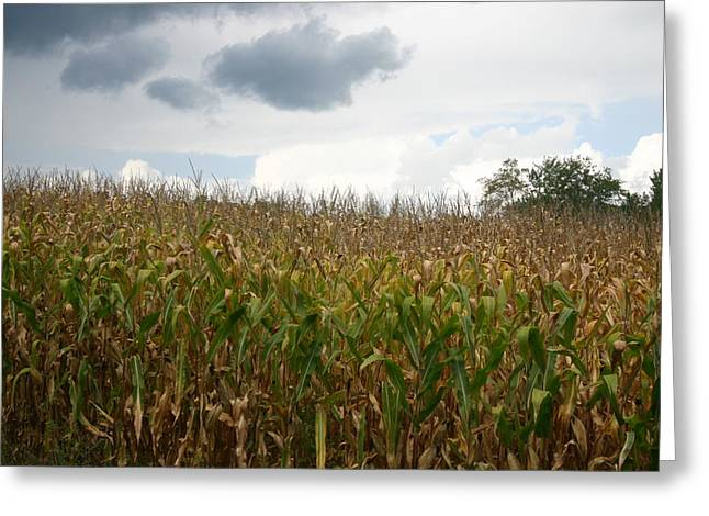 Corn Greeting Card by Dennis Curry