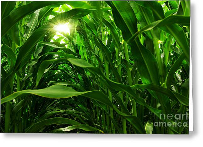 Meadow Photographs Greeting Cards - Corn Field Greeting Card by Carlos Caetano