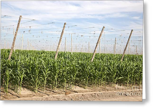 Corn Growing, Hop Trellised Field Greeting Card by Inga Spence