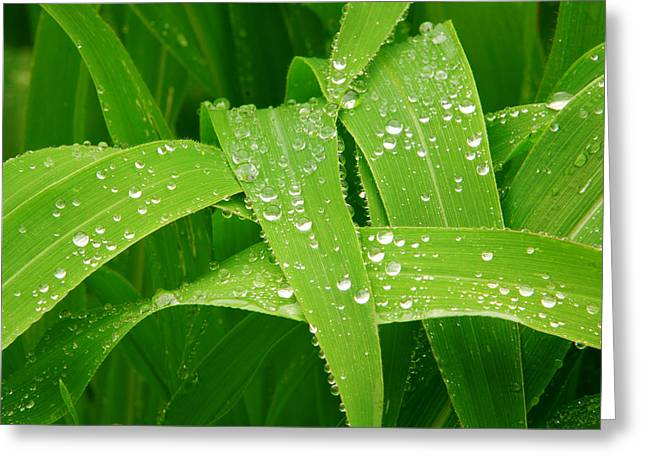 The Lightning Man Greeting Cards - Corn Leaves After the Rain Greeting Card by James BO  Insogna