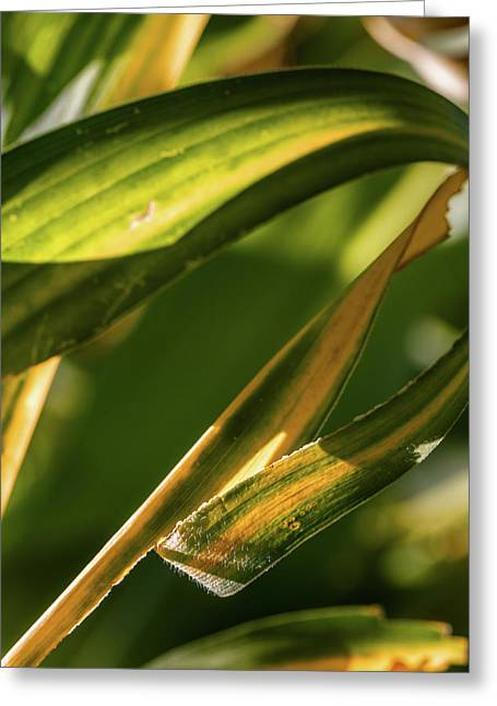 Corn Leaves Nr. 1 Greeting Card by Mah FineArt