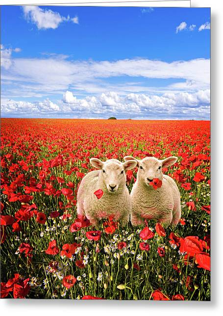 Meadow Photographs Greeting Cards - Corn Poppies And Twin Lambs Greeting Card by Meirion Matthias