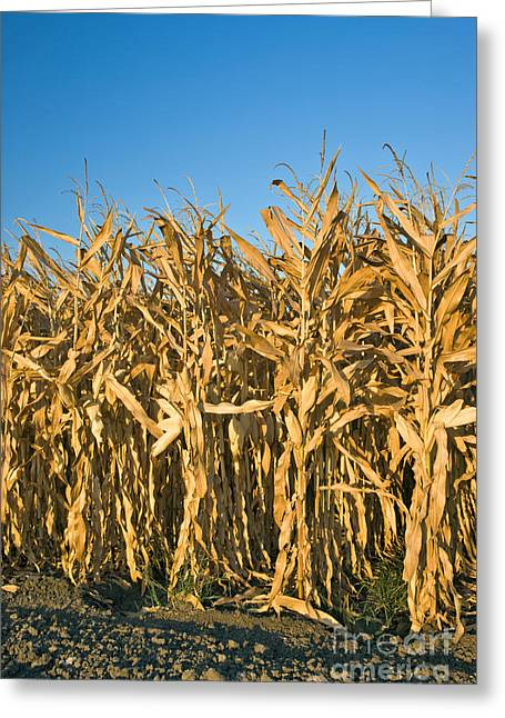 Corn Stalks Greeting Card by Inga Spence