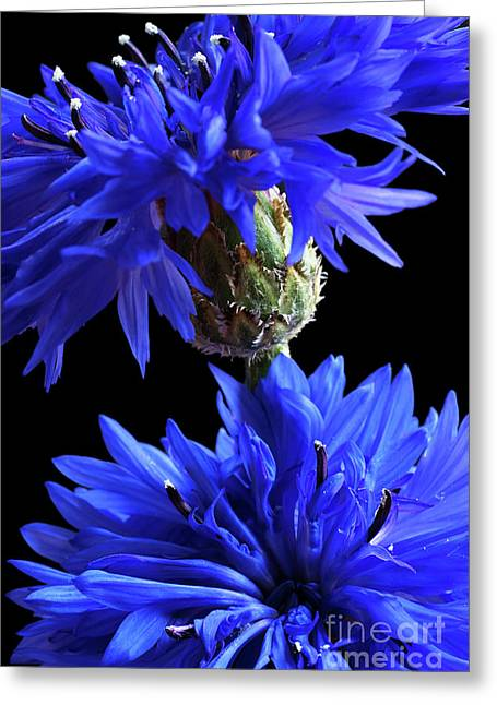 Cornflower Blues Greeting Card
