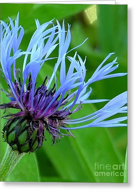 Cornflower Centaurea Montana Greeting Card