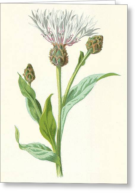 Cornflower Greeting Card by Frederick Edward Hulme