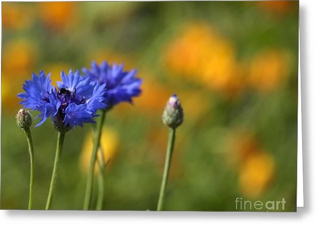 Cornflowers -2- Greeting Card