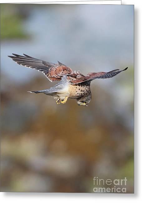 Greeting Card featuring the photograph Cornish Kestrel Hunting 2 by Nicholas Burningham