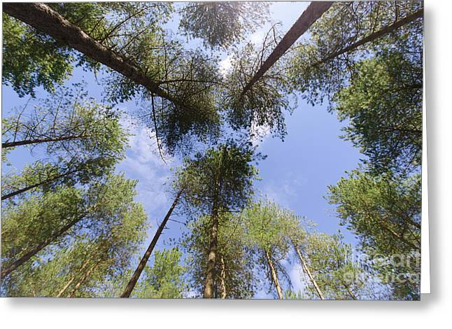 Corsican Pine Canopy Greeting Card by Steev Stamford