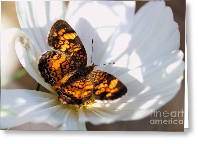 Pearl Crescent Butterfly On White Cosmo Flower Greeting Card