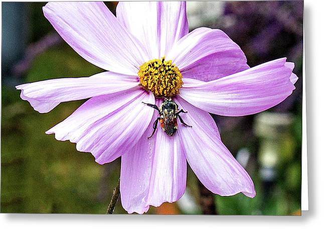 Cosmos And The Bee Greeting Card