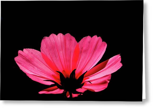 Cosmos Bloom Greeting Card