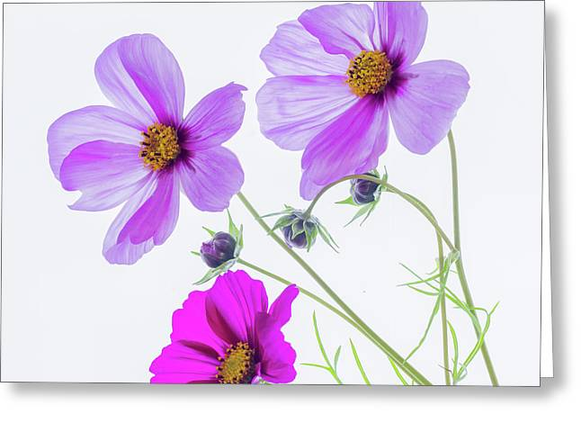 Cosmos Bright Greeting Card