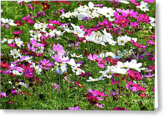Cosmos Dwarf Sensation Greeting Card by Ray Shrewsberry