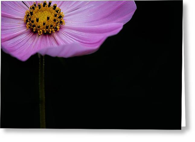 Cosmos On Black Greeting Card