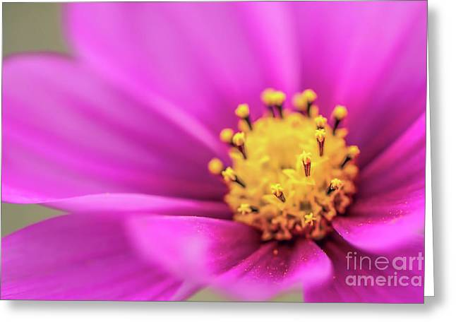 Greeting Card featuring the photograph Cosmos Pink Sensation by Sharon Mau