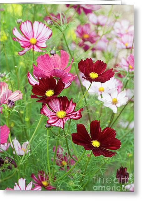 Cosmos Velouette Greeting Card by Tim Gainey