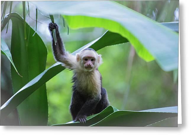 Costa Rica Monkeys 1 Greeting Card
