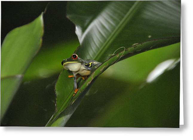 Costa Rica Red Eye Frog I Greeting Card