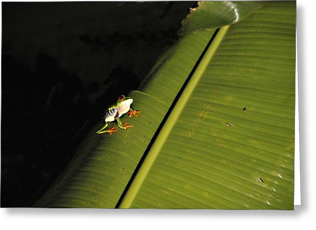 Costa Rica Red Eye Frog II Greeting Card