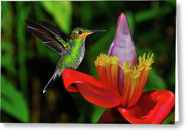 Harry Hummingbird