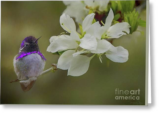 Costas Hummingbird On An Anacacho Orchid Branch Greeting Card
