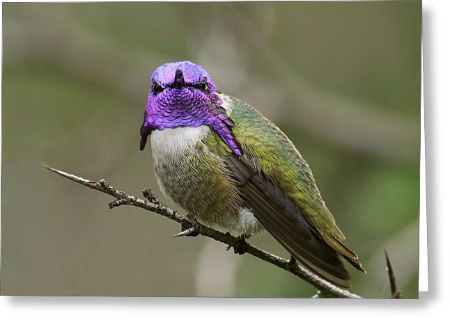 Costa's Hummingbird, Solano County California Greeting Card