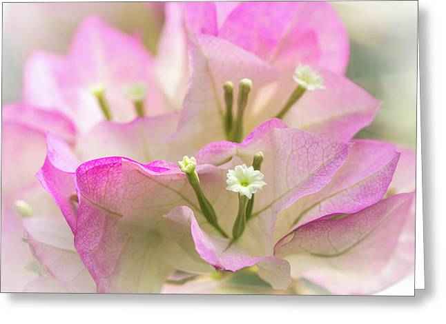 Cotton Candy Bougainvillea Greeting Card by Mother Nature