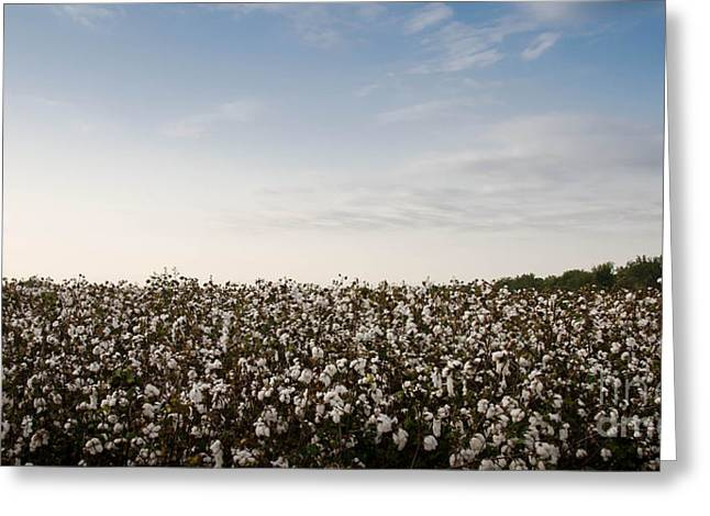 Cotton Field 2 Greeting Card