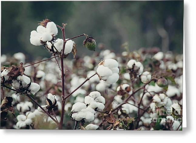 Cotton Field 5 Greeting Card