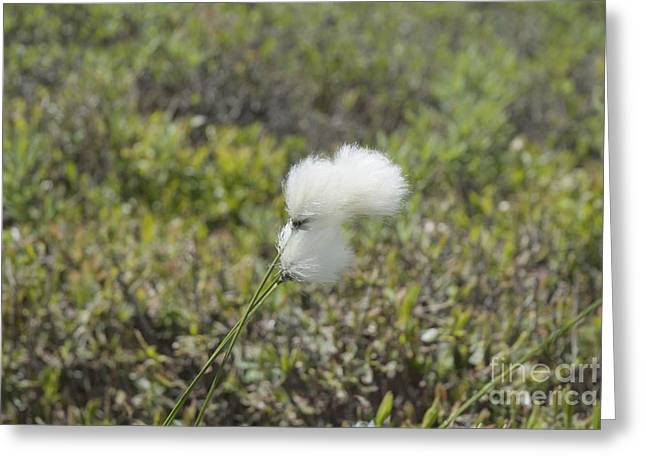 Cotton Grass -eriophorum Virginicum- Greeting Card by Erin Paul Donovan