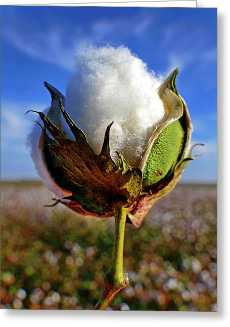 Greeting Card featuring the photograph Cotton Pickin' by Skip Hunt