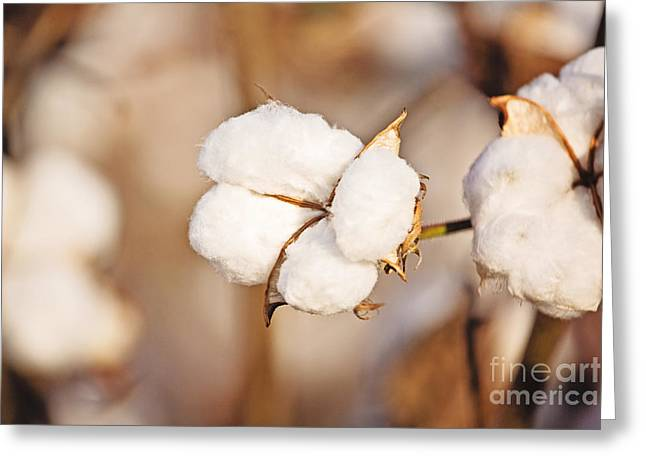 Cotton Plant Greeting Card by Scott Pellegrin