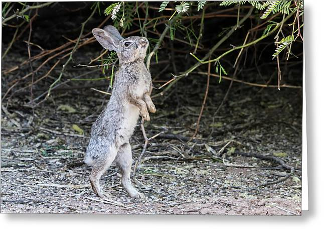 Cotton Tail Rabbit Greeting Card by Tam Ryan