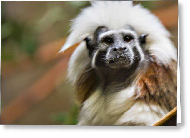 Cotton-top Tamarin _ 1a Greeting Card