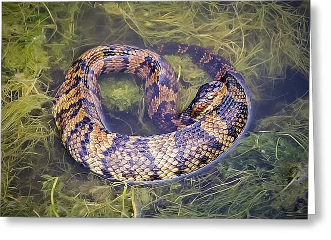 Cottonmouth Greeting Card by Brian Wallace