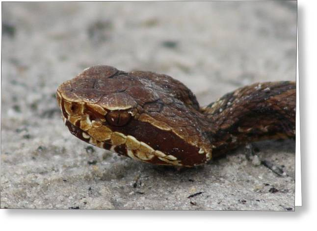 Cottonmouth Greeting Card by Dana Blalock