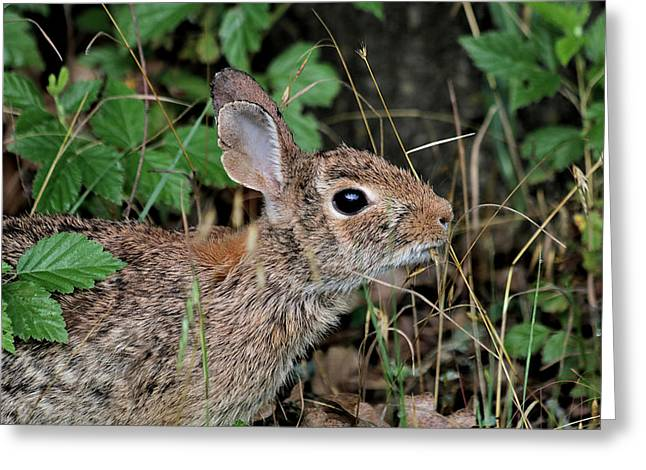 Greeting Card featuring the photograph Cottontail Bunny Breakfast by Sheila Brown